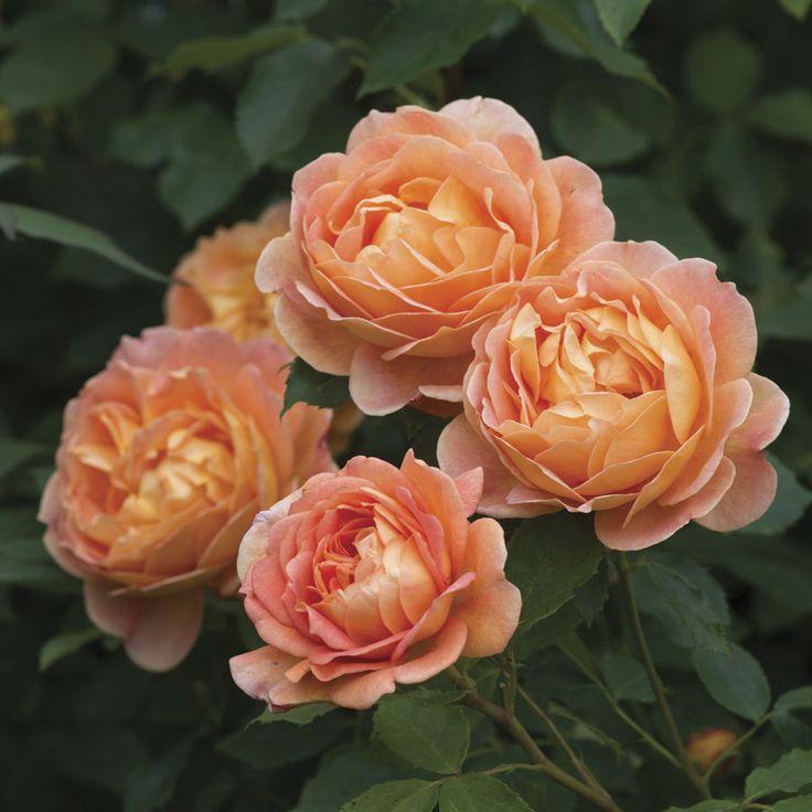 David Austin Roses - Lady of Shalott Rose