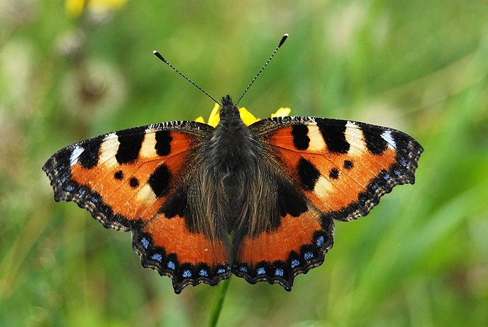 Tortoiseshell. This is my friend Eero Karvinen really successful nature photography.  #picture #image #pics #butterflies #nature