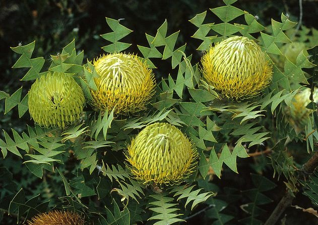 Birdsnest Banksia