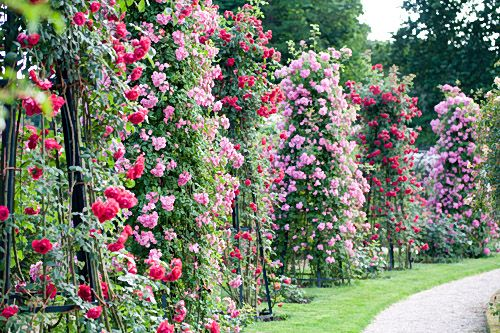 Rose garden – La Roseraie du Val-de-Marne, Paris, France  (Photo: Pirjo Rautio)