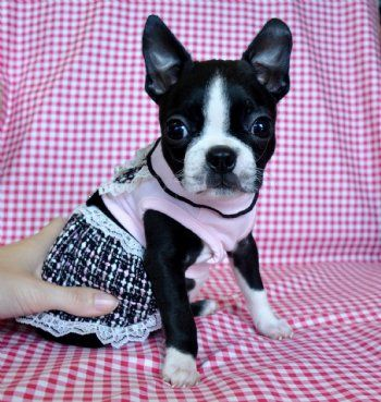Tiny Toy Boston Terrier Puppy 1.9 lb at 8 weeks! SOLD!  MOVING TO CALIFORNIA