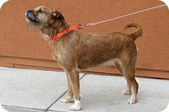 Santa Monica, CA - Border Terrier/Boxer Mix. Meet Amy (aka Chewie Chewbacca), a dog for adoption. http://www.adoptapet.com/pet/17113801-santa-monica-california-border-terrier-mix