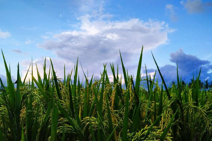 When the clouds play hide-and-seek  #nature #landscape #bliss #bright #sky #clouds #blue #rice #harvest #details #forever #summer #island #life #ubud #bali #instagood #instamoment #instadaily #photooftheday by lenaaa.here