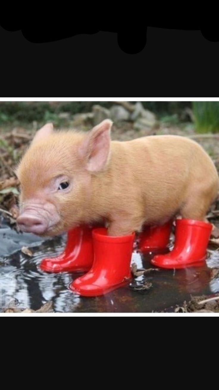 Mejores 14 imágenes de Pigs en Pinterest | Cerditos, Cerdos y ...