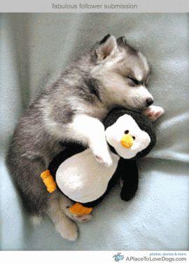Baby husky cuddling a stuffed penguin!