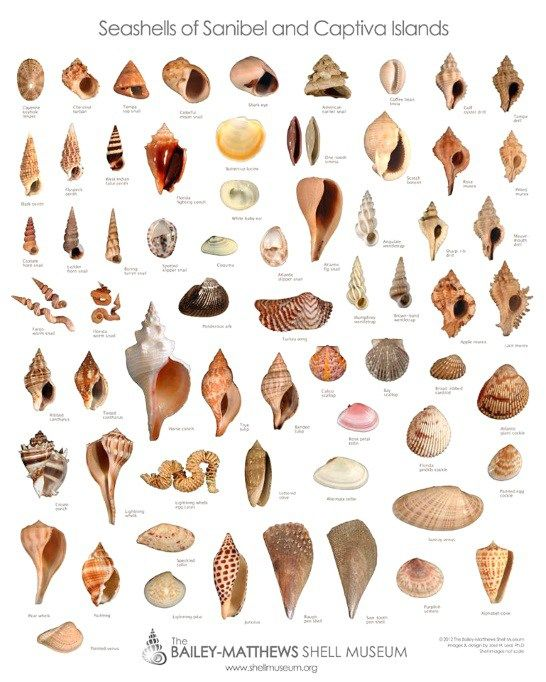 Types of Shells On Sanibel Island | Sanibel Island FL - The World's Best…