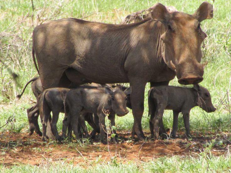 A close-knit warthog family make the most of the shade. #Africa #Kenya #wildlife #Warthog