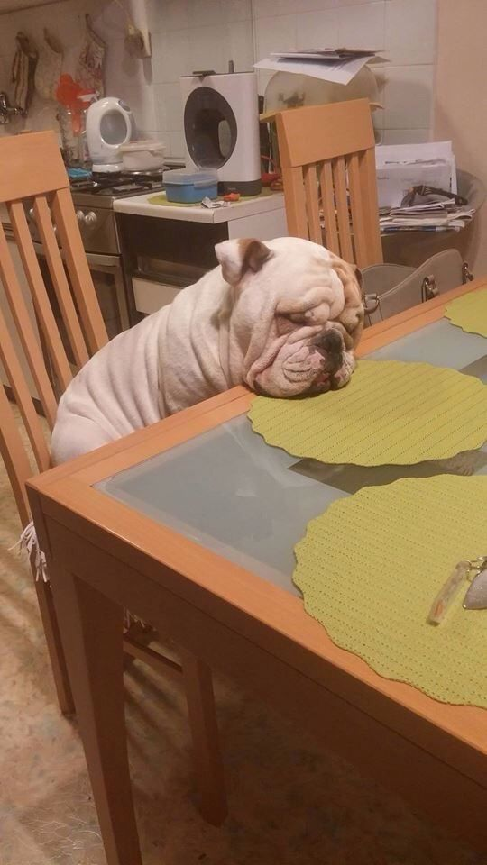 This Bulldog just needed a little nap before dinner. www.bullymake.com