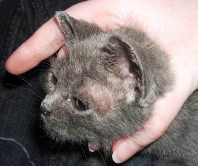 Семнадцать способов избавить кошку от стригущего лишая в домашних условиях. Проверено и одобрено.