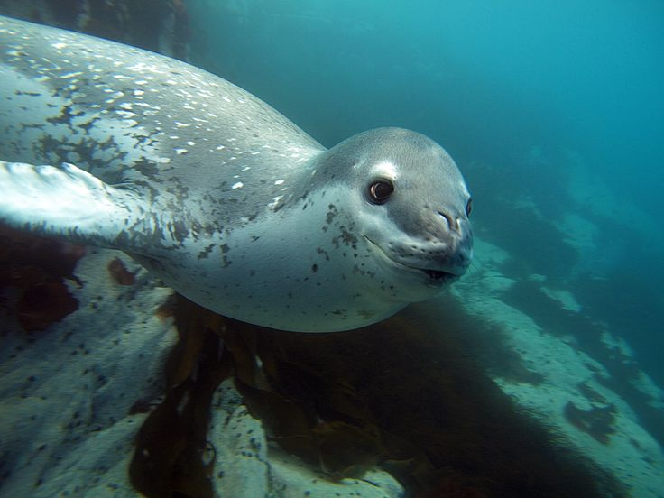Diving with the Leopard Seal, Antarctica © Oceanwide Expeditions www.oceanwide-expeditions.com