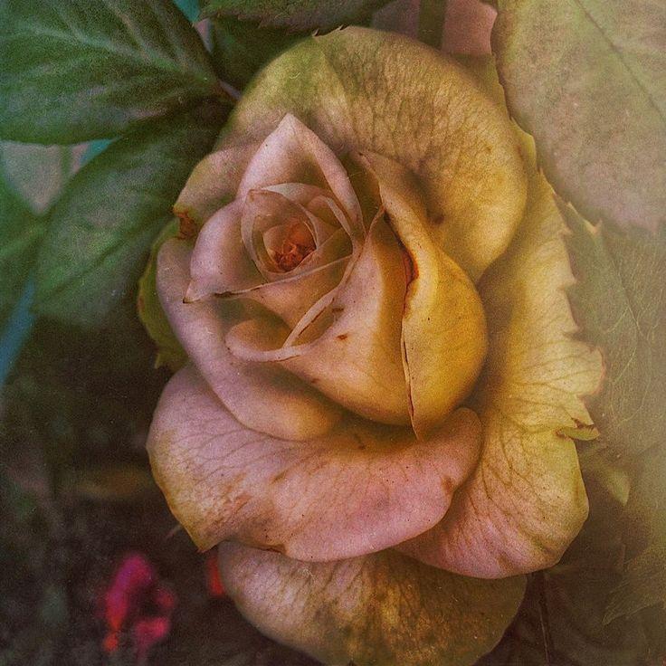 Rosebud -- Geri Centonze