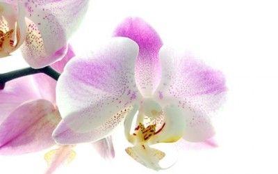 Scoprite i trucchi per imparare come curare un'orchidea nel modo migliore e garantirle una lunga vita e meravigliose fioriture.