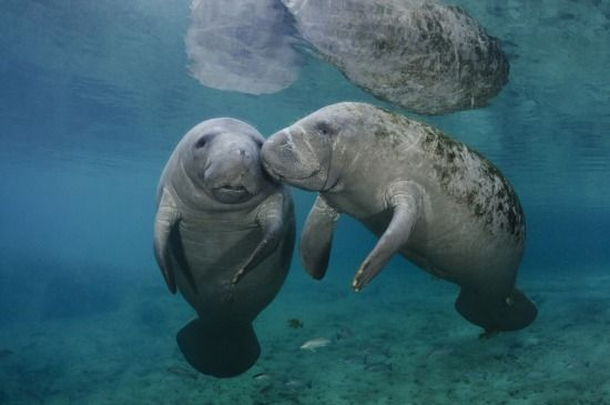 Manatees!  :) Hey everyone who reads this should be aware that 140 manatees have drowned from red tide spread awareness on trying to save these majestic creatures