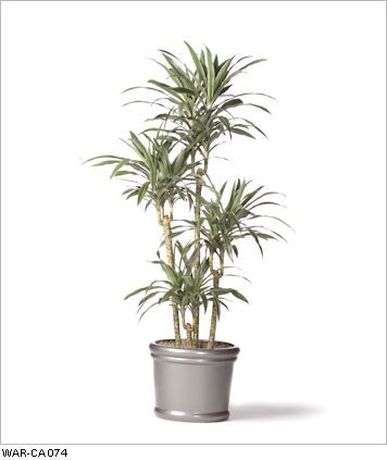 Dracaena Warneckei Cane Live Office Floor Plants For Indoor Use