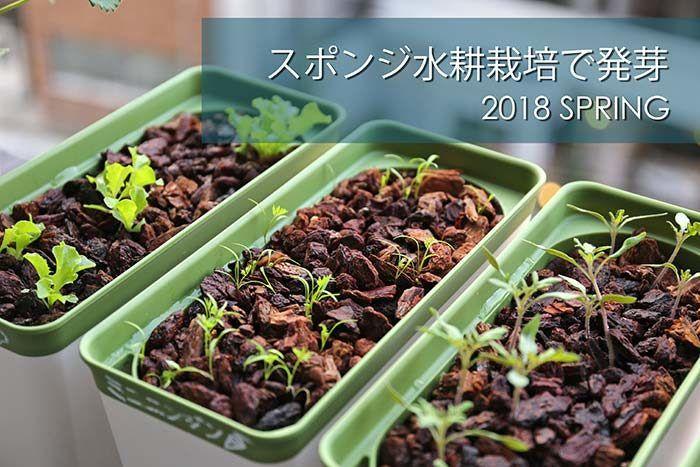 土を使わないベランダ菜園 簡単スポンジ水耕栽培でニンジンが発芽した