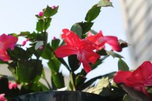 Advice For Christmas Cactus Care.  Tips on their problems @  http://www.gardeningknowhow.com/ornamental/cacti-succulents/christmas-cactus/limp-christmas-cactus.htm  How To Make A Christmas Cactus Bloom @  http://www.gardeningknowhow.com/ornamental/cacti-succulents/christmas-cactus/how-to-make-a-christmas-cactus-bloom.htm