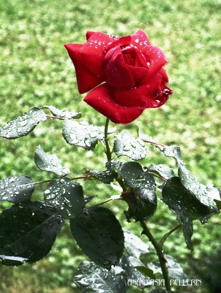 redrose in the rain