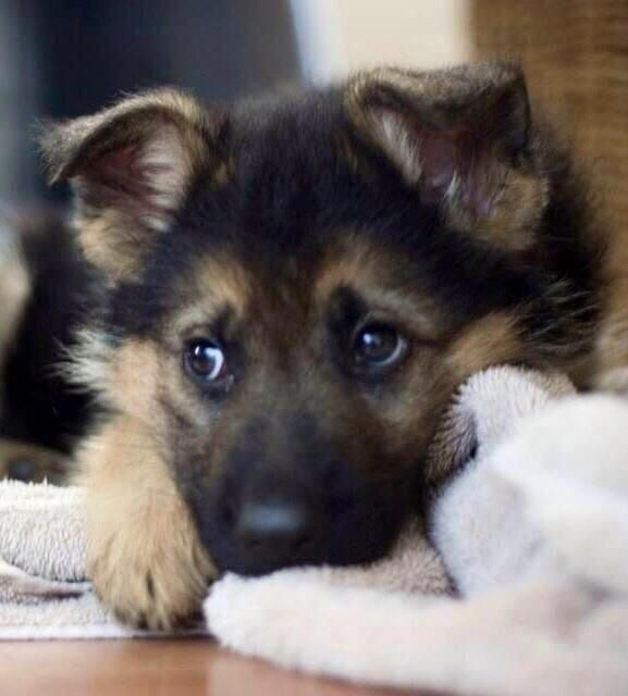 German Shepherd puppy! #shepherdpuppies #germanshepherdpuppies #germanshepherds