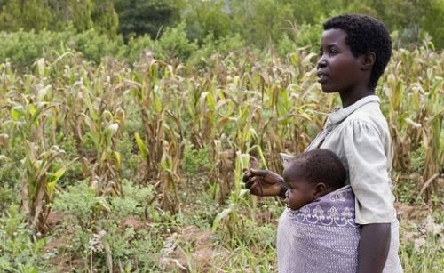 Climate Change Threatens Southern Africa's Vital Crops - The study, published by the International Food Policy Research Institute (IFPRI), and with contributions from scientists in countries across the southern Africa region, uses available data and a variety of models to examine likely agricultural developments, particularly related to crops, in the period to 2050.