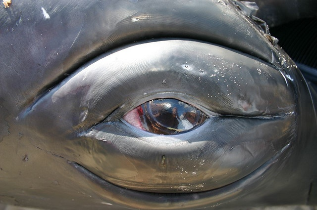 Humpback Whale Eye.  The secrets of the universe are there.