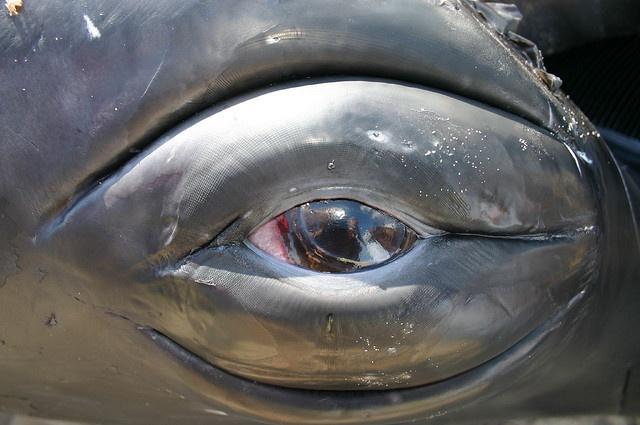 Humpback Whale Eye - Vlieland 2004 - Oog Bultrug by Dirk Bruin, via Flickr