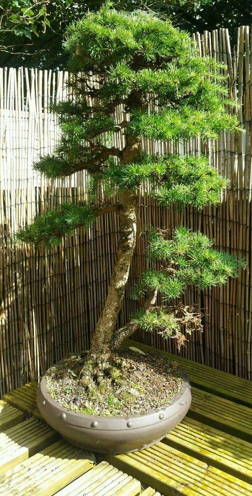 Bonsai tree Japanese larch in Garden & Patio, Plants, Seeds & Bulbs…