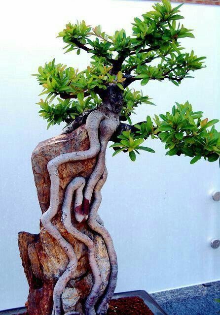 Bonsai - root over rock