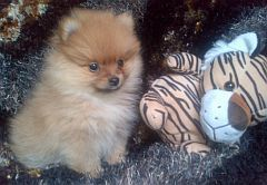 Puppies from pomeranian breeders in South Africa (Toy pom)