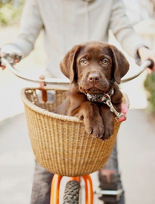 Chocolate lab puppy in a bicycle basket!