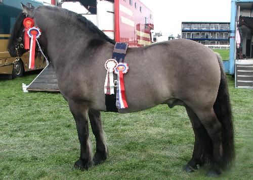 Carlung Feargus - Royal Highland Show Male Champion 2010. He is a stunning Highland Pony stallion, a breed native to Scotland, they are very hardy and tough, they rarely require shoeing, and are very economical to keep. They usually don't need rugs, and are generally free from many equine diseases.