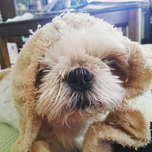 mano_saku : サクラもヘアバンドしてみたよ~😉 使い方あってる?😆 離さないのでかけてあげました😃  今朝は雨上がりで湿度が高かったです💦 午後を過ぎて風が冷たくなってきました💦 明日から季節相当の温度だとか…寒いの嫌い😢  #シーズー #鼻ぺちゃ #留守番犬 #北海道