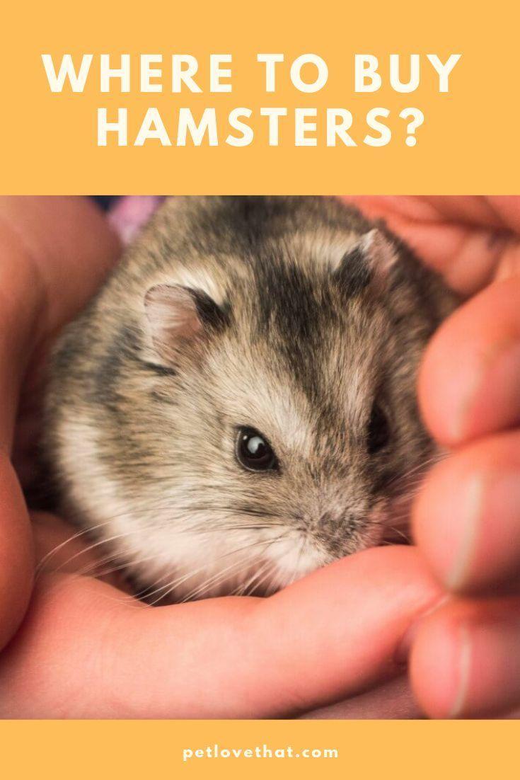 Where To Buy Hamsters Buy Hamster Hamster Pets