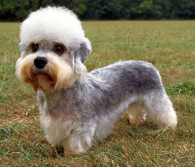 Dandie Dinmont Terrier... 30 Incredibly Rare And Exotic Dog Breeds That You Need In Your Life
