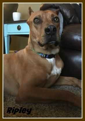 Adopt Ripley, a lovely 1y Rhodesian Ridgeback / Great Dane available for adoption at Safe Haven Dog Rescue, Elburn,IL.