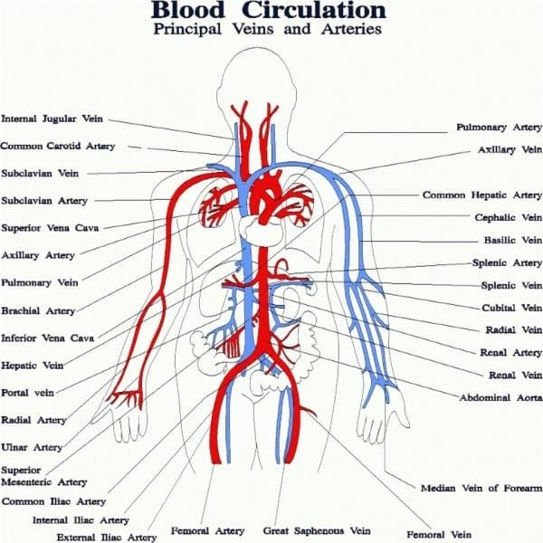 Artery And Vein Diagram Human Circulatory System Circulatory System For Kids Arteries And Veins