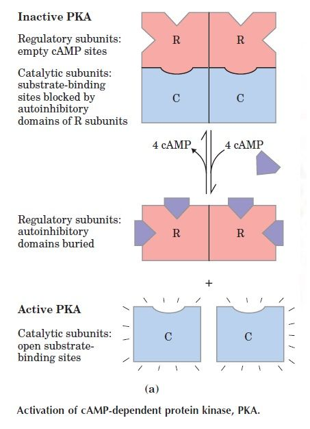 Activation of cAMP-dependent protein kinase, PKA. (a) A schematic representation of the inactive R2C2 tetramer, in which the autoinhibitory domain of a regulatory (R) subunit occupies the substrate-binding site, inhibiting the activity of the catalytic (C) subunit. Cyclic AMP activates PKA by causing dissociation of the C subunits from the inhibitory R subunits. Activated PKA can phosphorylate a variety of protein substrates.
