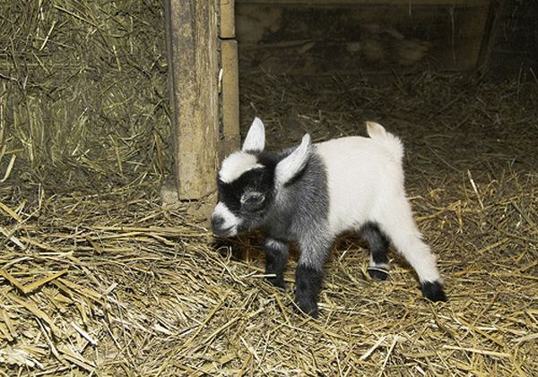 Pygmy goat <3: So Cute, Pet Zoos, Goats Milk, Farms Animal, Farms Life, Baby Animals, Kids, Baby Pygmy Goats, Baby Goats