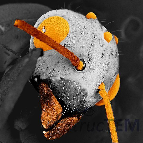 A Flying ant in the scanning electron microscope: eye and antena. The magnification is 150 fold when seen on a 19inch screen The image has been colored afterwards: images of the scanning electron microscope are grey. Flugameise im Elektronenmikroskop. #macroscopy #microworld #microscopy #scanningelectronmicroscope #insect  #elektronenmikroskop #animal #tier #electronmicroscope #zoom #macro #sem  #rem #insekt #structem