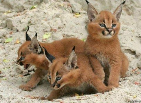 ..: Big Cat, Wild Cat, Desert, Ears, Cubs, Baby, Animal, Bigcat, Caracal Kittens