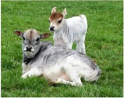 Ten Miniature Cattle Breeds for your Small Farm | They are so I don't think I could eat them but there are mini dairy cows too!