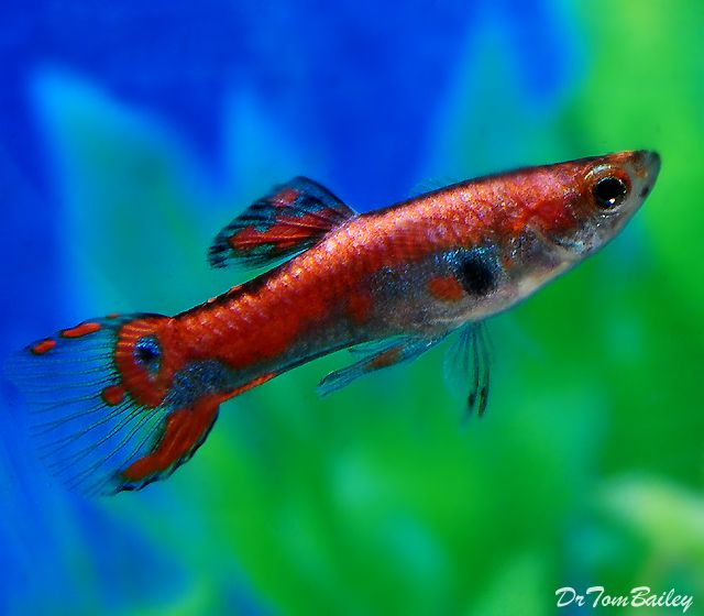 1000 images about guppies and endlers on pinterest for Endler guppy