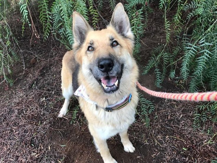 German Shepherd Dog dog for Adoption in Sandy, OR. ADN-565247 on PuppyFinder.com Gender: Female. Age: Adult