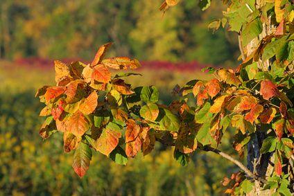 Baking Soda Poison Ivy Treatment | LIVESTRONG.COM