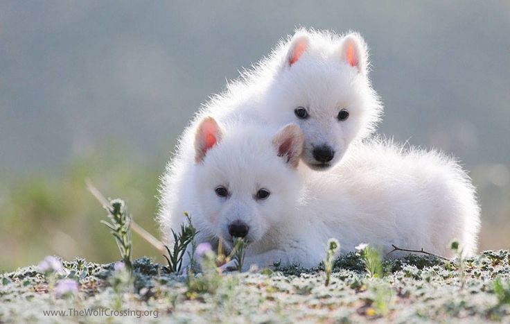 White Wolf Cubs. Why do they want to remove these amazing creatures to the list en endangered species, I will never understand. Who cares for natural gas? We have already killed all the US wolves once, why do it again? Protect!