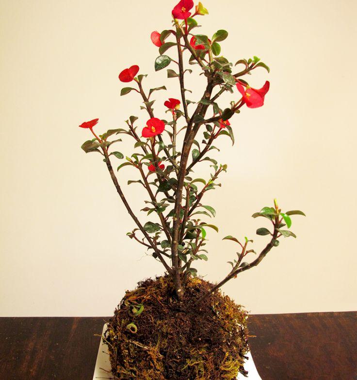 Planta-Sombrero-Chino
