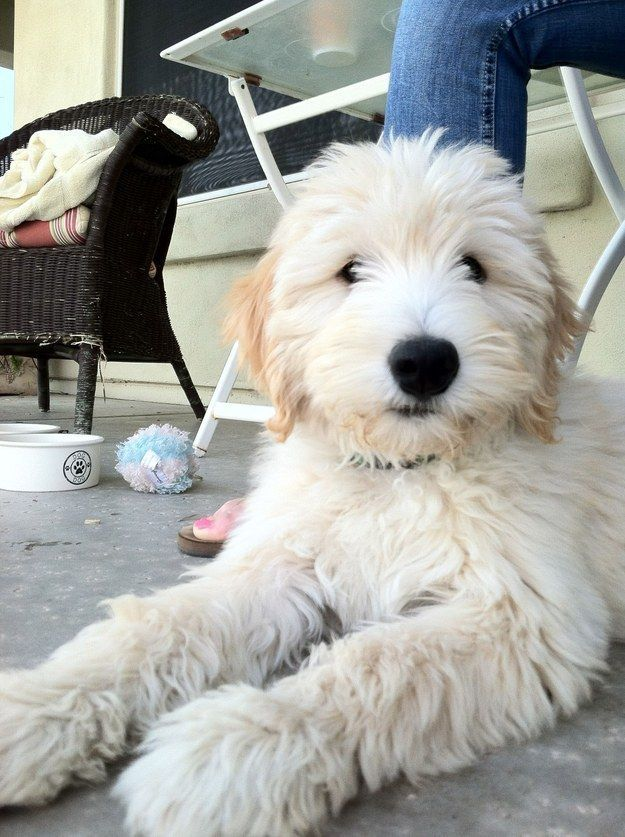TRY TO LOOK AWAY FROM THIS FLUFFY FABULOUSNESS. YOU CAN'T. YOU JUST CAN'T. | 27 Puppies Who Are Too Cute To Be Real