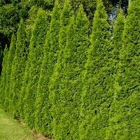 $20 each, privacy trees, 30 dollar shipping, deer/insect resistant, all weather, fast growing Green Giant Arborvitae Tree