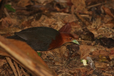 Whilst the Cassowary is certainly the most sought after bird in the village by those wishing to see new birds, the much smaller, lesser known Red-necked Crake is also a magnet for serious birders as this is a classic 'hard to get' little number.