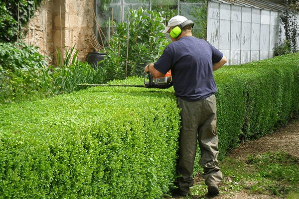 How to maintain your cedar hedge