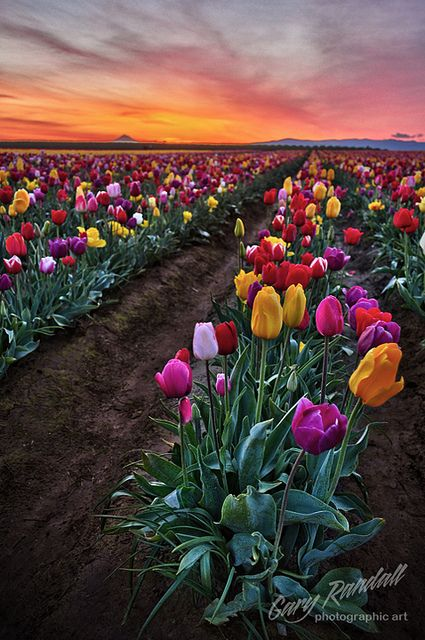 ~~The Ellusive Light of Spring ~ sunrise, Wooden Shoe Tulip Farm at Woodburn, Oregon by Gary Randall~~